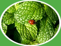 Lady Bug On Mint Leaf